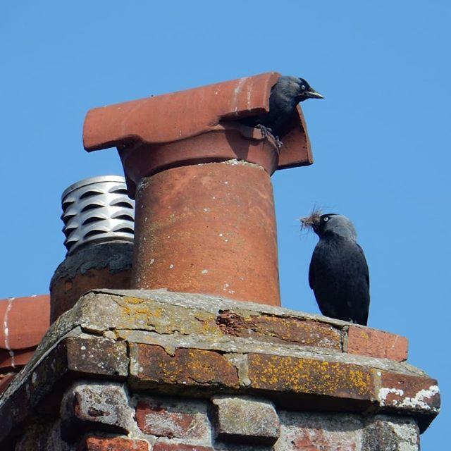 Jackdaw nesting... #corvids