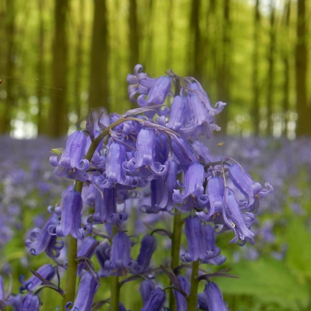#bluebells #bluebellwoods #woodlandwalks #lovenature