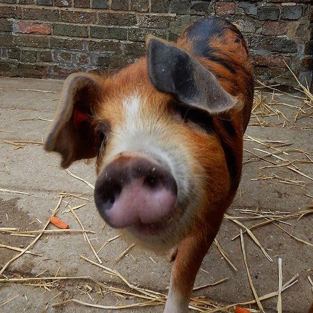 Down on ye olde farm… #pigs #sandyandblack #goats🐐 #goatsofinstagram #chickens #creamlegbars #ducks #muscovyduck @cogges