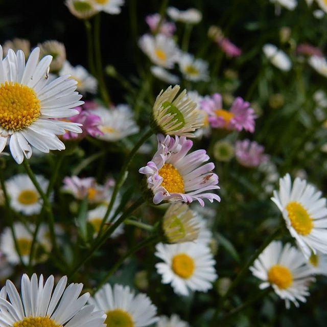 Not quite a national collection but my Erigeron garden is doing well… #garden🌿🍃 #erigeron #erigeronkarvinskianus #mexicanfleabane #erigeronseabreeze #nationalcollection