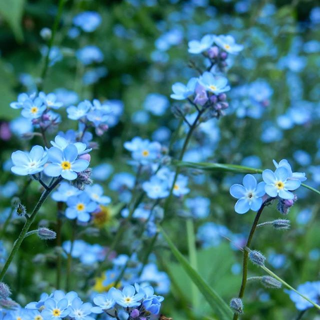 Shades of blue... #forgetmenot