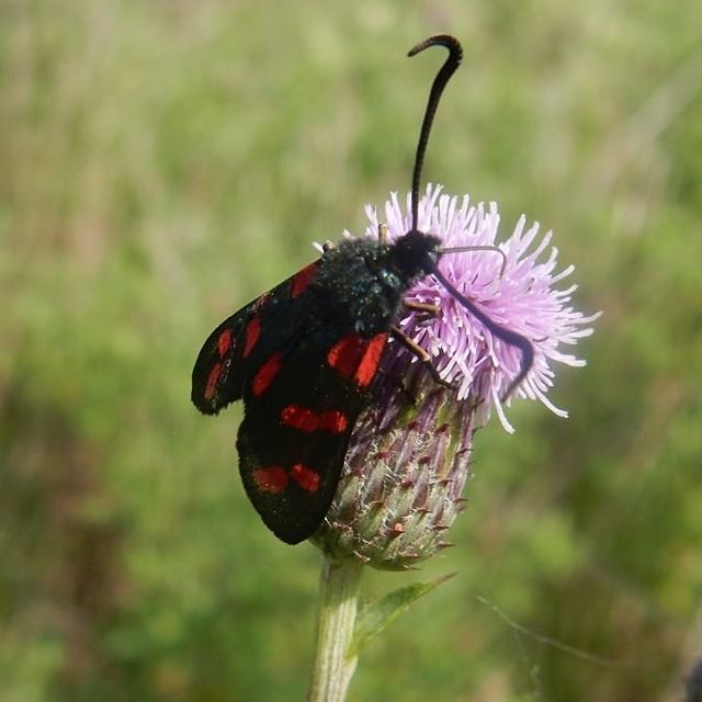 Six-spot Burnet moth #holkhambeach #sanddunes