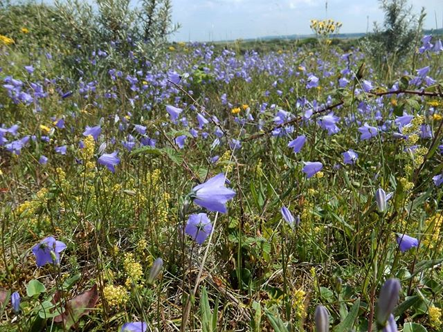 Carpet of blue… #harebelles #sanddunes #wildflowers
