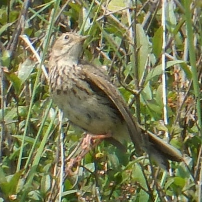Meadow Pipit amongst the sand dunes… #meadowpipit #sanddunes