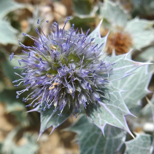 Sea Holly, Sea Spurge, Hemp Agrimony, and a funnel web spider #holkhambeach #NorfolkRiviera #flora #fauna