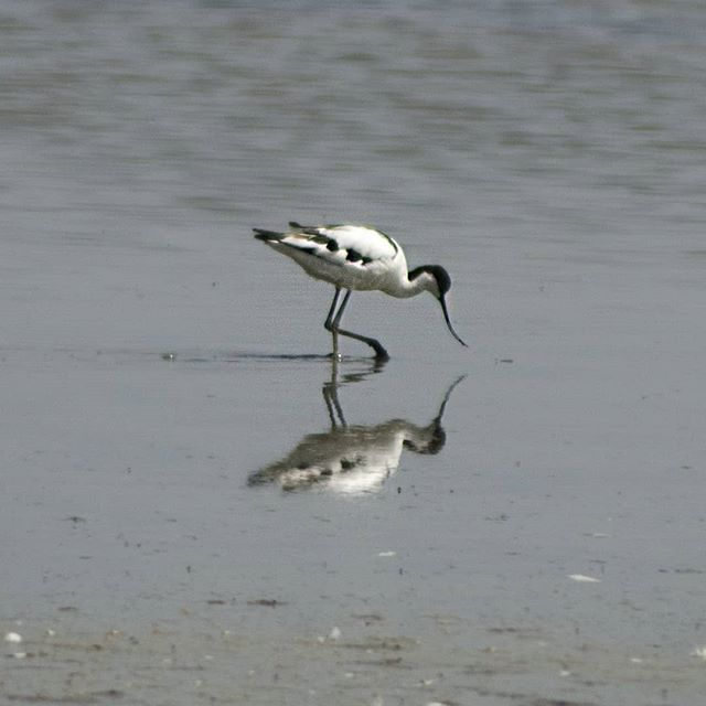 Avocets, curlews, and seven spoonbills amongst other bird life at @rspbtitchwell... #birdwatching #rspbtitchwell