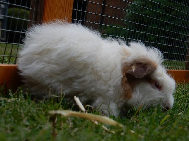 Guinea pigs and little woolly baaa lambs are so cute... #guineapigs #lambs