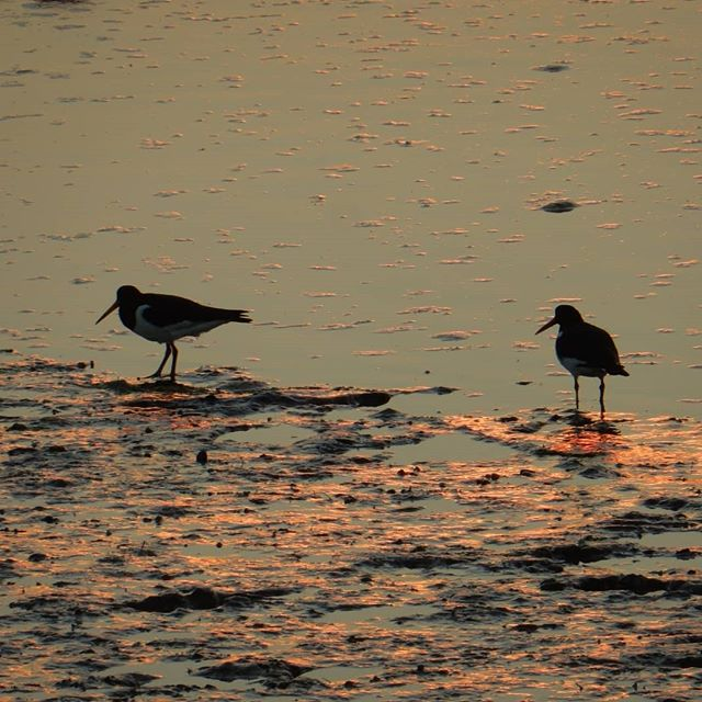 Oyster Catchers down on the creek… #sunset #burnhamoverystaithe #nofilter