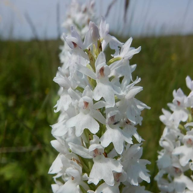 Orchids on the beach... #orchids #wildflowers #sanddunes #NorfolkRiviera