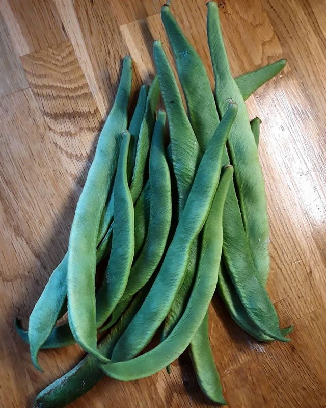 Small harvest of runner beans for dinner tonight! #garden #veggies #harvest