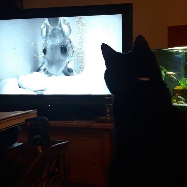 @bellafanella has always loved watching @BBCSpringwatch! #mousecam #bbcautumnwatch