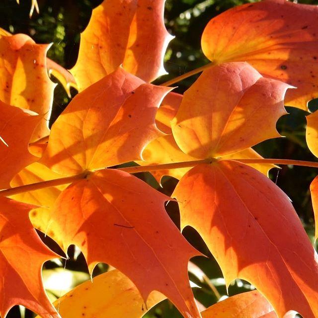 Seasonal colours in @evenleywoodgarden #AutumnWalks #Autumn🍁 #AutumnLeaves🍂