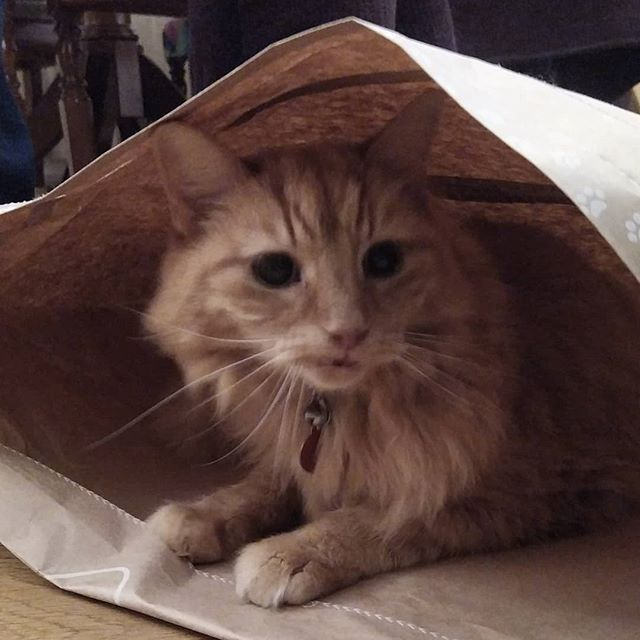 Whatever you do, don't let the cat out the bag… #cats🐱🐈 #catsofinstagram #catsagram #Aslan