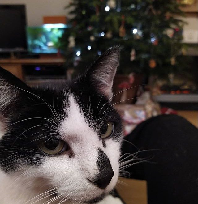 I'm popular tonight… #catsofinstagram #cats🐱 #festivecats @scooter.mchooter