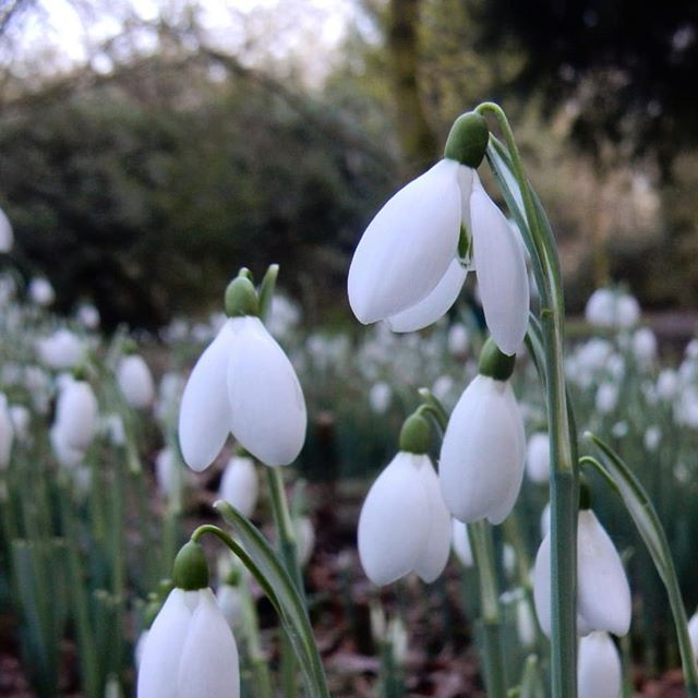 Snowdrop season has arrived at @evenleywoodgarden!  #snowdrops #snowdrop♥️ #galanthophiles #galanthophilesofinstagram