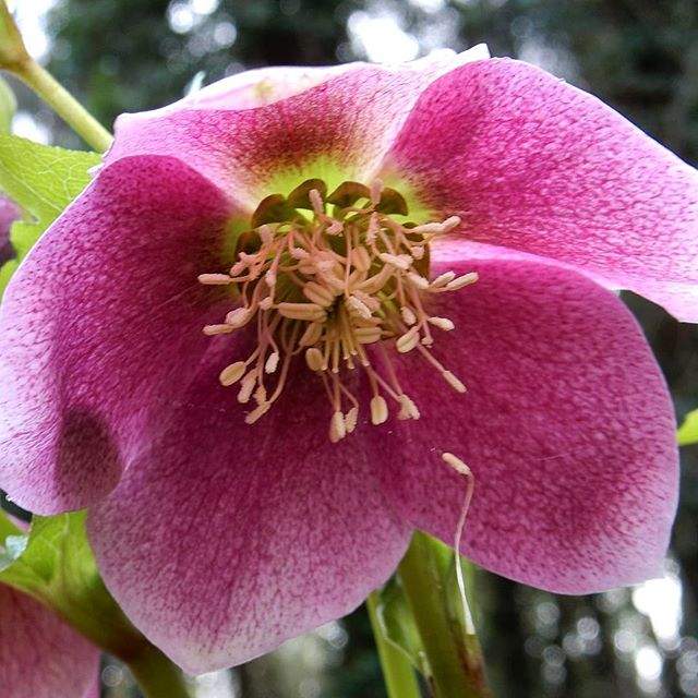 Hellebores at @evenleywoodgarden  #Spring #colour #helebores