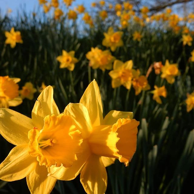 Sunshine in the grass… #daffodils #flowers #Spring
