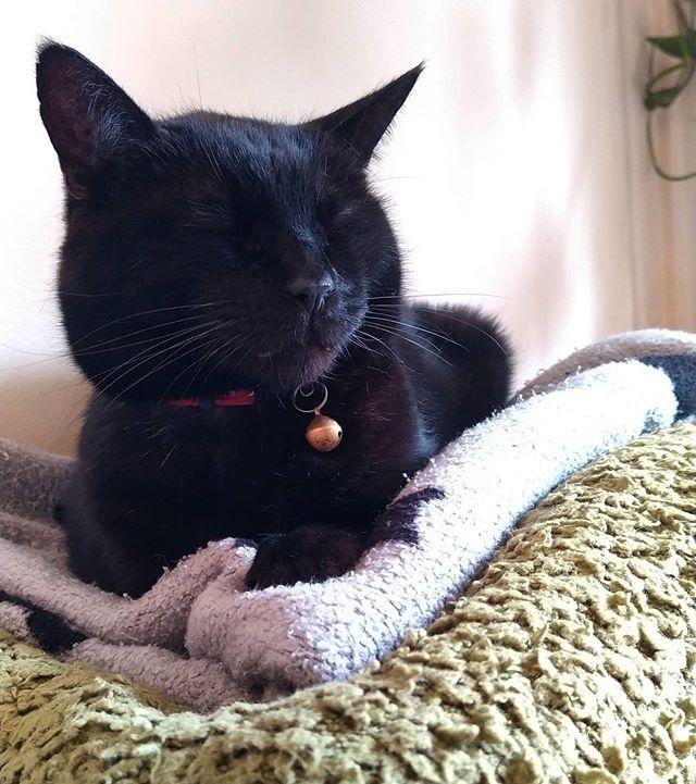 "Arthur ""two blankets"" Shepherd.... @catnamedafteramouse #LazySaturday #cats #catsofinstagram"