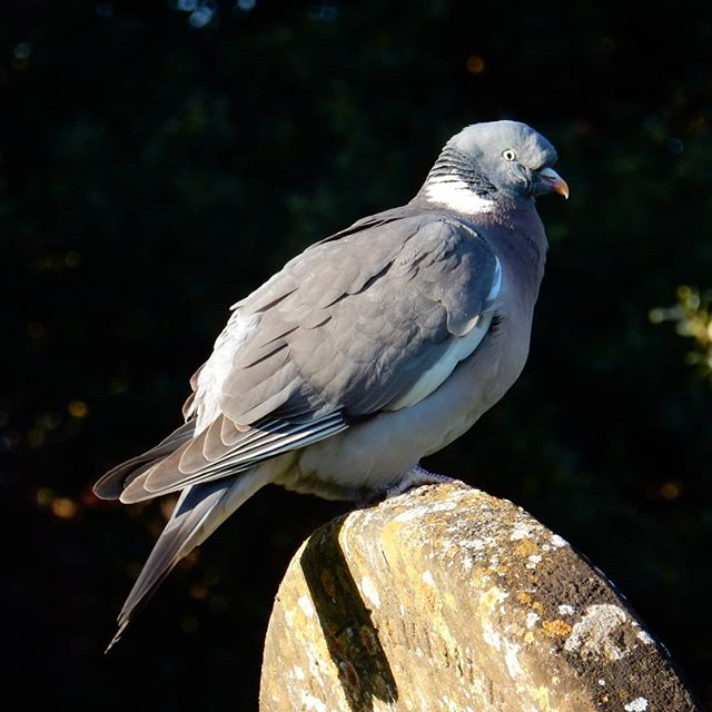 The Church Pigeon… #pidgeon #churches