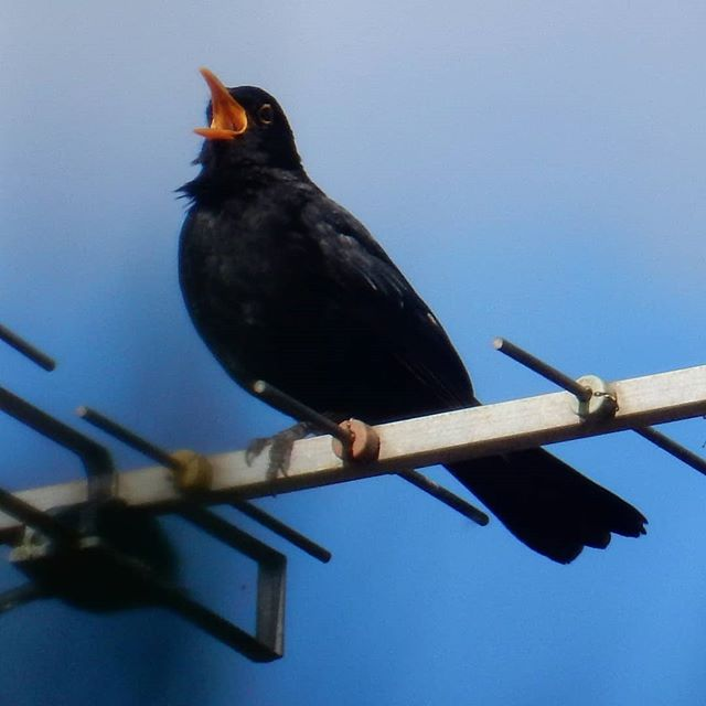 Blackbird broadcasting his song...