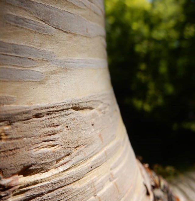 I've always loved silver birches… #trees #woods #woodland @evenleywoodgarden
