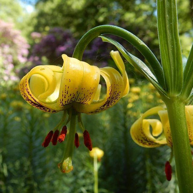 The weirdness that is Lilium rhodopeum... @evenleywoodgarden