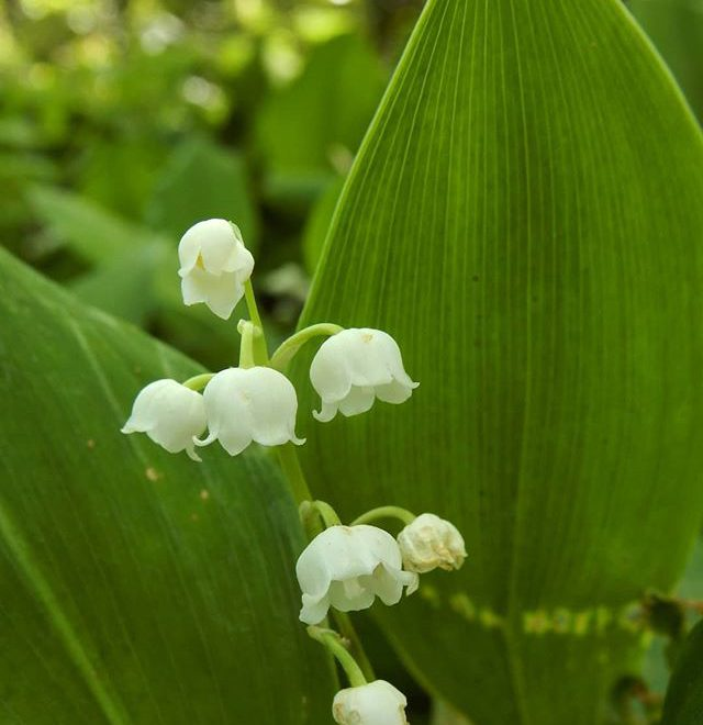 Lilly of the valley… #woods #woodland #flowers @evenleywoodgarden