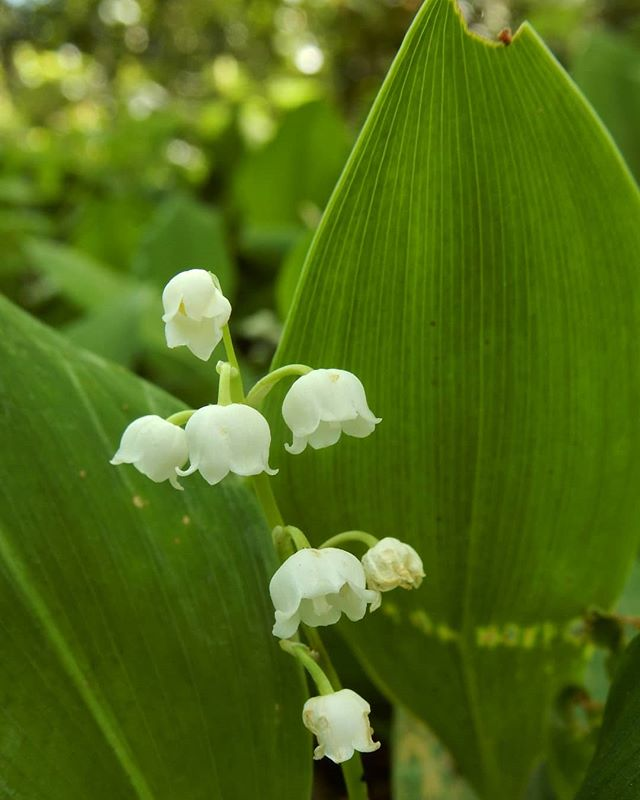 Lilly of the valley... #woods #woodland #flowers @evenleywoodgarden