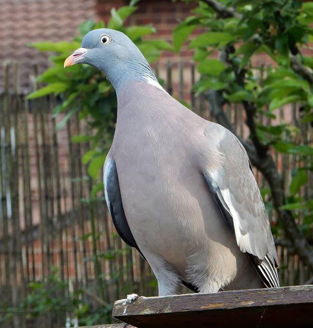 Hello, Mr Pigeon!