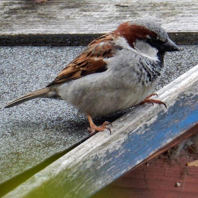 Sparrows in the garden...