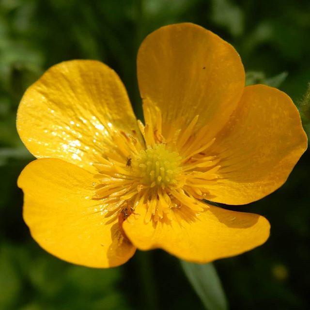 Pure as butter… #buttercups #yellow @evenleywoodgarden 💛