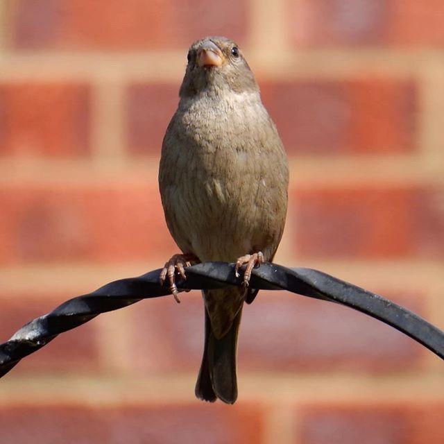 Stay Alert . #sparrow #StayAlert #StayHome #Coronavirus