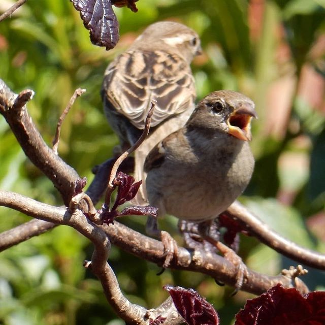 A field day of sparrows… #sparrows #gardenbirds #SIBirdClub #bbcspringwatch #springwatch @bbcspringwatch