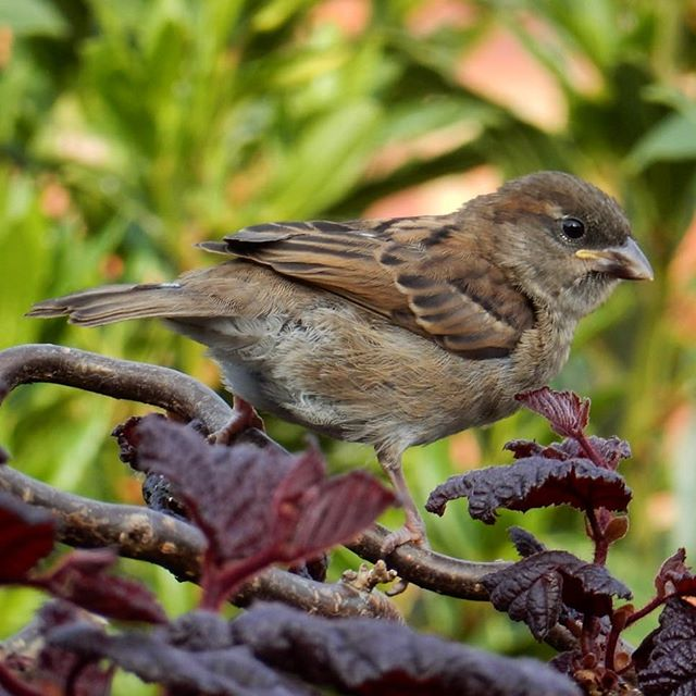 Baby sparrow... . #sparrow